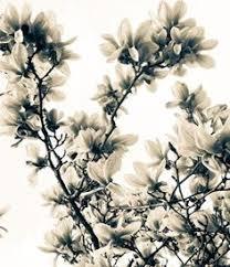 southern magnolia tree flower southern magnolia magnolia