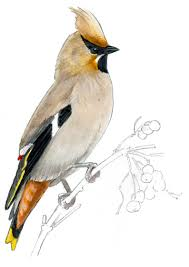 draw bird audubon