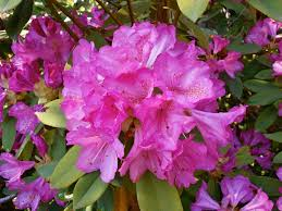 free images shrub rhododendron rhododendrons spring flowers