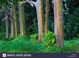 rainbow trees the road to hana hawaii stock photo