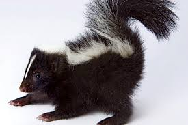 striped skunk wildlife images rehabilitation and education center