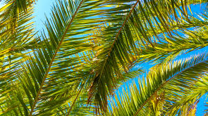 palm tree leaves free stock photo public domain pictures