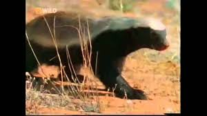 Meme Honey Badger - the crazy nastyass honey badger original narration by randall