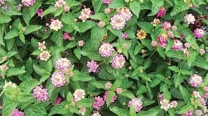 Flowers That Keep Mosquitoes Away Mosquitoes U2013 Free Garden U2014 Saturday Magazine U2014 The Guardian