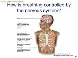 Human Anatomy Respiratory System Ss Respiratory System Ch 10
