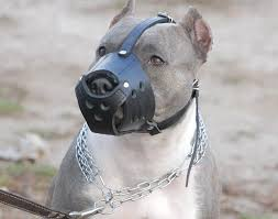 american pitbull terrier blue pitbull blue nose american pitbull terrier harness collar