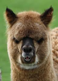 alpaca staredown meme generator imgflip