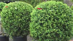 fast growing privacy hedges on sale 12 99 youtube