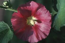 Which State Has A Hibiscus by Dividing And Replanting Hardy Hibiscus Home Guides Sf Gate