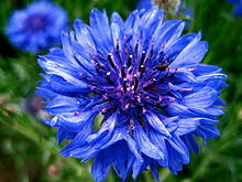 corn flower blue centaurea cyanus