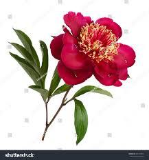Peonies Season 100 Flower Peony Peony Flower Bush Peonies Season Summer