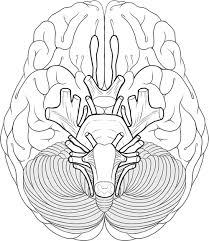 Photo Gallery Of Brain Anatomy Coloring Book At Coloring Book Online Brain Coloring Page