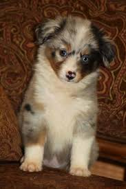 mini australian shepherd 8 weeks 17 best images about mini australianshepherd on pinterest puppys