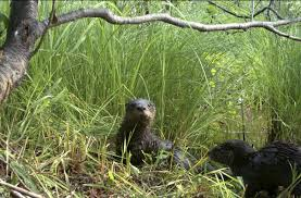 North Dakota wildlife images North dakota may join states that allow otter trapping the jpg