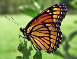 fly butterflies wemu