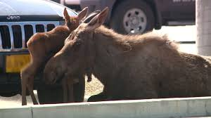 lowes open on thanksgiving moose gives birth at lowe u0027s nbc news