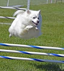 american eskimo dog ireland top 10 most affectionate dogs top 10 lists listland com