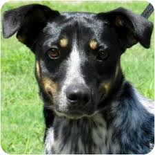 australian shepherd catahoula mix scooter adopted dog hendersonville tn catahoula leopard dog