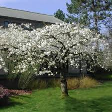 prunus shirotae white cherry blossom tree clarenbridge garden centre