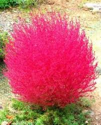 pink muhly grass like a soft cloud plant in sun to part shade