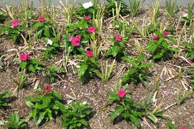 leave foliage on flowering bulbs nebraska extension