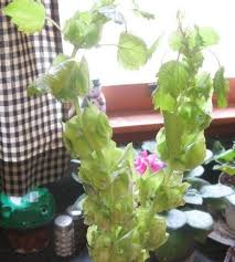 Bells Of Ireland Flower Bells Of Ireland With Pale Green Petals Popular In Floral