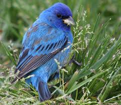 New York birds images Indigo bunting at gilgo beach long island new york bird is the jpg