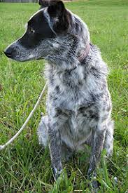 australian shepherd australian cattle dog mix border collie australian cattle dog mixed breed dog online dog
