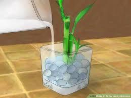 3 ways to grow lucky bamboo wikihow