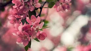 Peach Flowers Flower Wallpapers Hd Android Apps On Google Play