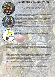 australian native food plants australian sandalwood santalum spicatum seeds u0027bush tucker food