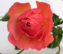 free photo rose flower garden free image on pixabay 2991311
