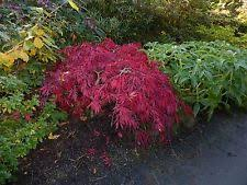 sand partial shade ornamental trees ebay