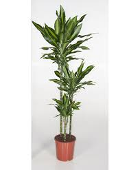 large houseplants buy large indoor plants online bakker com