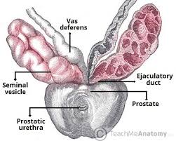 Picture Of Anatomical Position The Seminal Vesicles Structure Function Lymphatics Teachmeanatomy