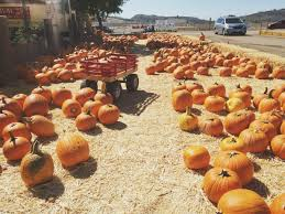 Local Pumpkin Patches Perfect Pumpkin Picking Patches Local Love 805