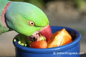 feeding your indian ringneck or asiatic parrot indianringneck com