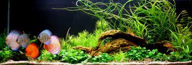 idee deco aquarium poisson original pour aquarium eau douce poisson ange blanc en