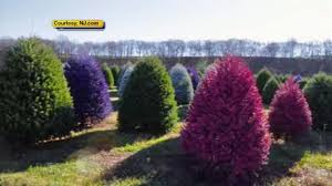 live christmas trees new jersey tree farm creates colored christmas trees 6abc
