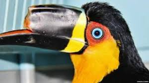 mutilated toucan 3d printed beak prosthesis bbc