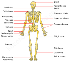 human skeleton year 3 u2013 defenderauto info
