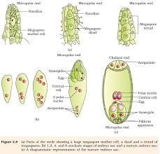 ncert class xii biology chapter 2 sexual reproduction in
