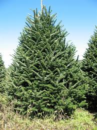 7 5 8 ft fresh cut premium grade real tree real