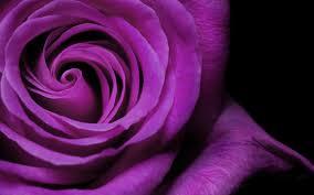 cool purple wallpapers wallpaper cave rose image hd coolwallpaper