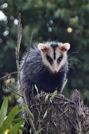 458 best possums images on pinterest adorable animals baby