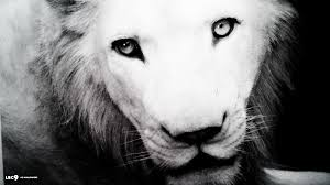white lion wallpaper 5 44 mammals hd backgrounds