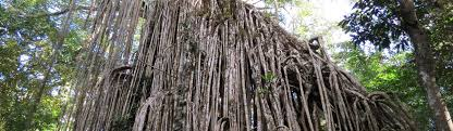 Tree Curtain Cairns Atherton Tablelands Curtain Fig Tree