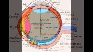 Picture Of Eye Anatomy Anatomy And Physiology Of Eye Youtube