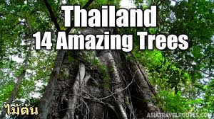 14 amazing trees in thailand ไม ต น youtube