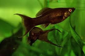 livebearers of ornamental fishes vikaspedia